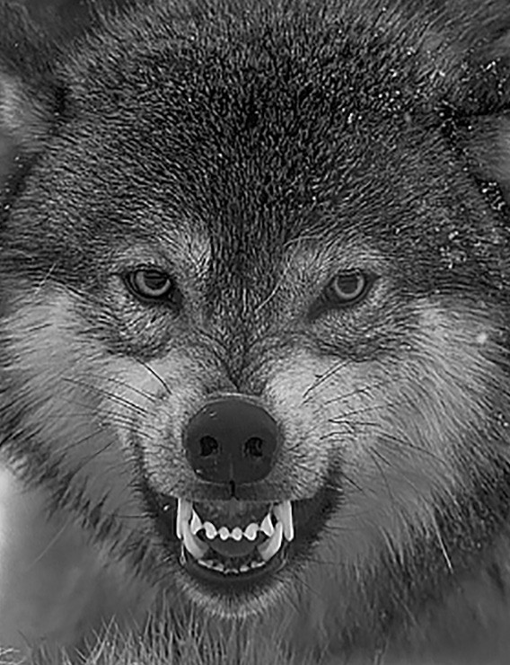Think of yourself as a wolf: cunning, conniving – vicious, if cornered.