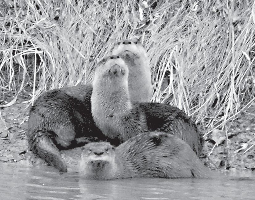 Blount County otters -Karen White