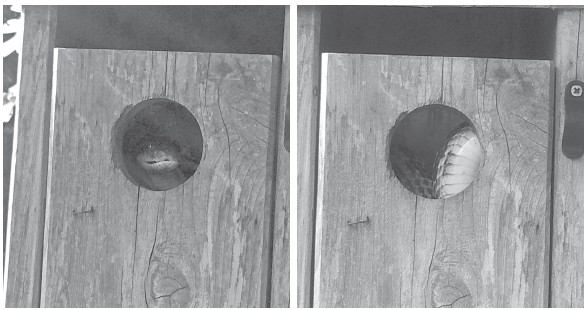 Left: Peek-a-boo. I see you. Despite our best efforts, snakes will sometimes invade bluebird houses (right) looking for an easy meal.