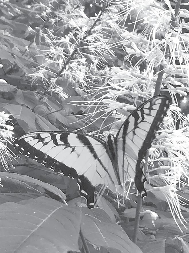 Eastern Tiger Swallowtail on bottlebrush