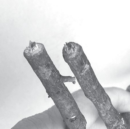 Twig girdler damage on pecan trees.