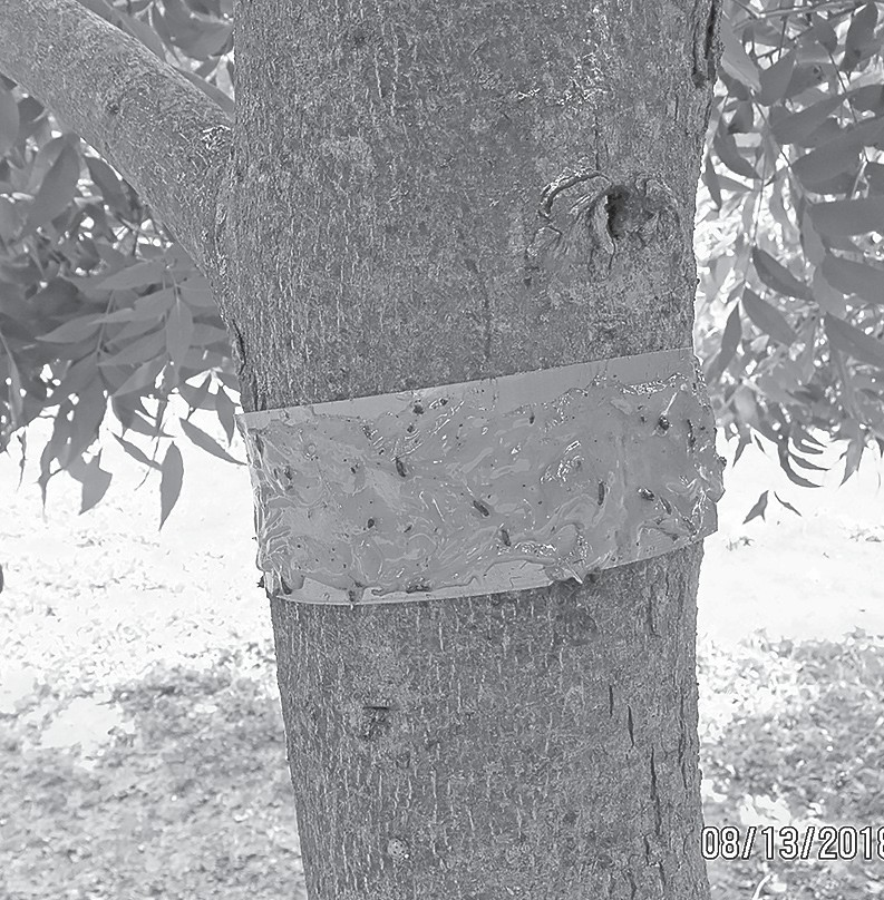 Tanglefoot applied to the trunk of a pecan tree. -Ralph Ballew | Snead