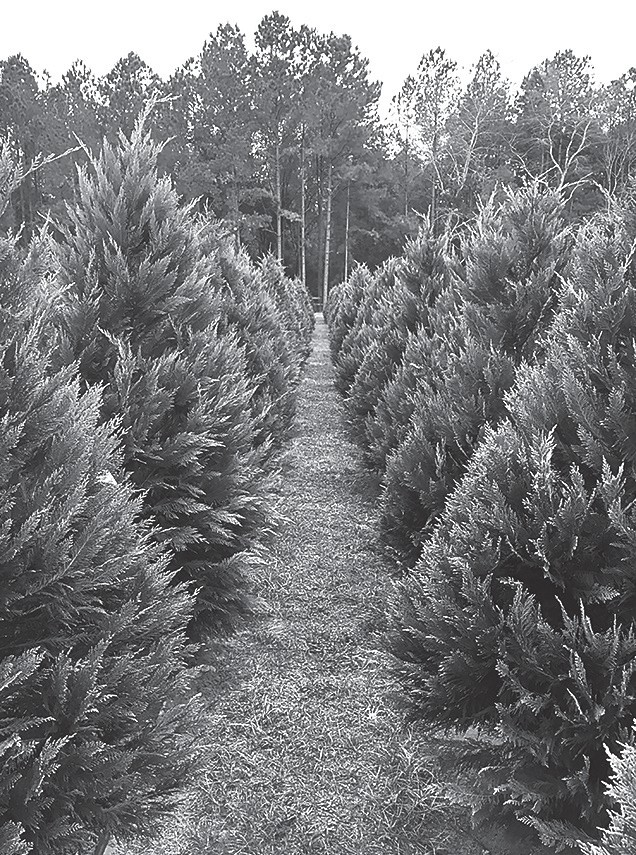 There are numerous choose-and-cut Christmas tree farms in Alabama. -Dr. Jeremy Pickens | Alabama Extension
