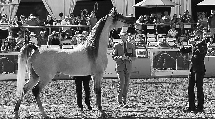 Ted Carson puts Allgood Exxalt through his paces during competition. -Ted Carson Arabian Horses, LLC